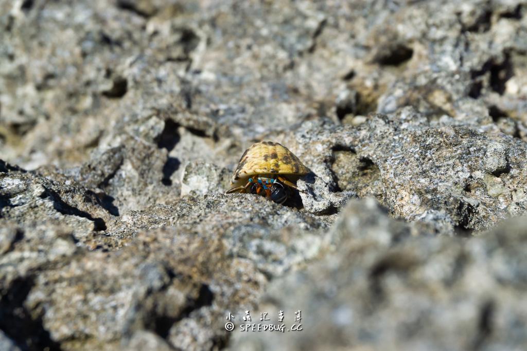 綠島烏油窟潮間帶生物寄居蟹