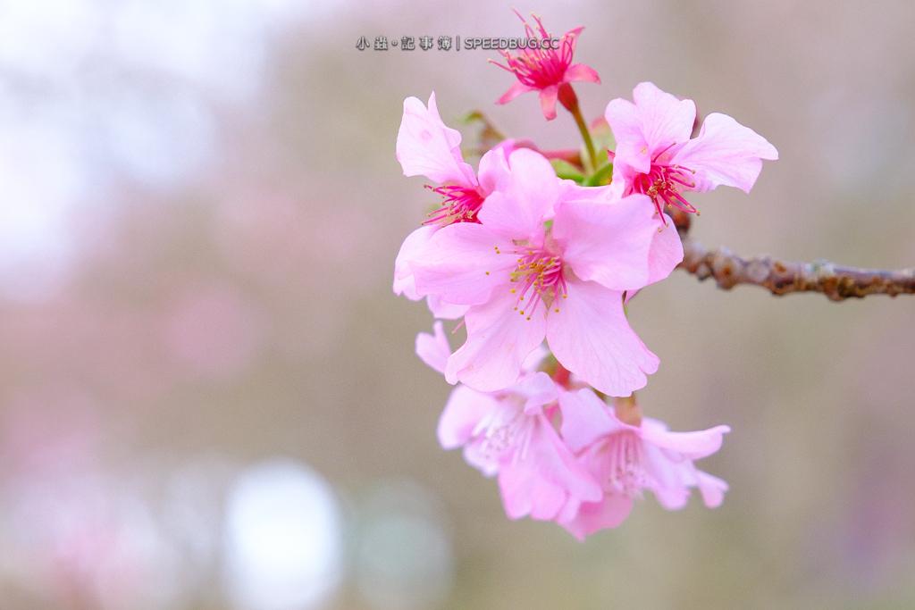 二集團櫻花公園,寶來二集團櫻花公園,高雄櫻花,高雄賞櫻,六龜櫻花,寶來櫻花,二集團山,二集團